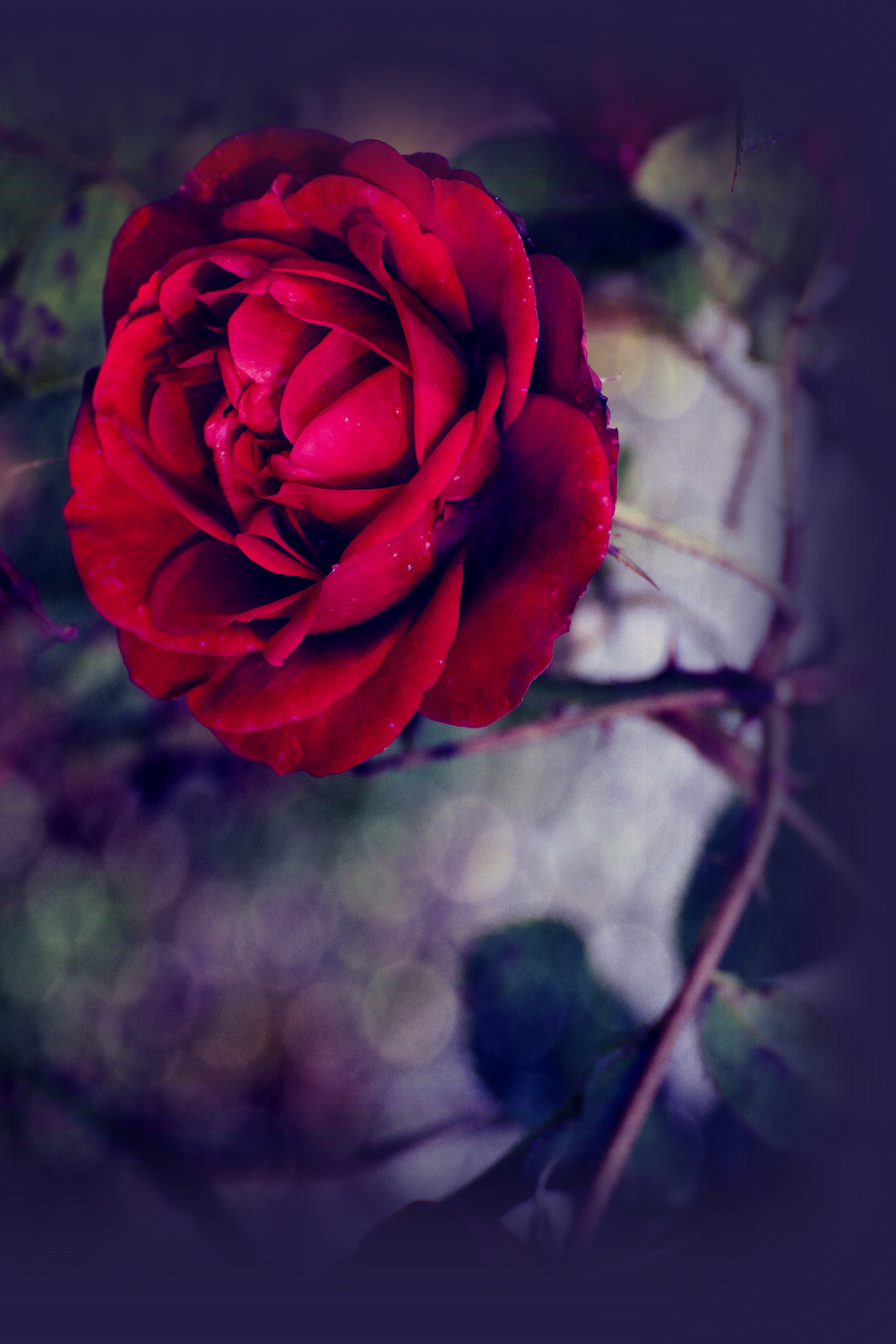 Red scarlet single rose and bokeh effects